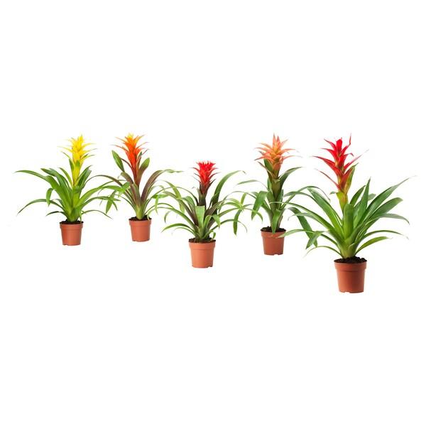 BROMELIACEAE Planta, Bromélia/mistura de espécies, 12 cm
