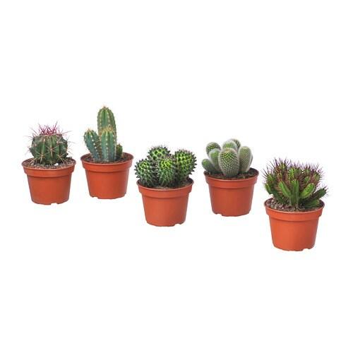 cactaceae planta ikea. Black Bedroom Furniture Sets. Home Design Ideas