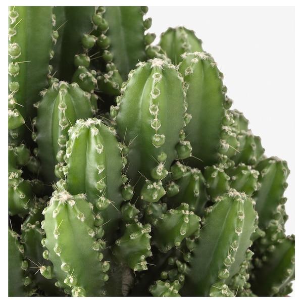 CEREUS PERUVIANUS Planta, sem espinhos, 12 cm