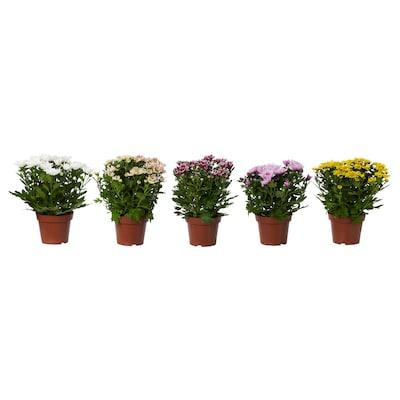 CHRYSANTHEMUM Planta, Crisântemos cores variadas, 14 cm