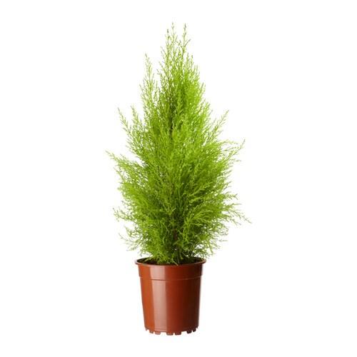 Cupressus macrocarpa planta ikea for Cipresso nano