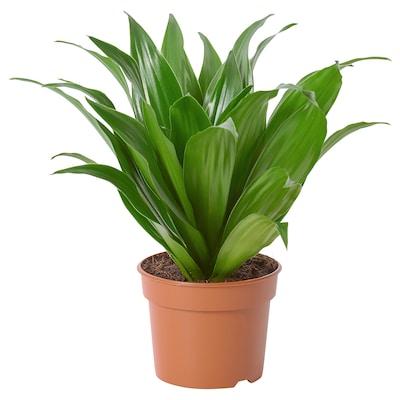 DRACAENA FRAGRANS 'COMPACTA' Planta, 9 cm