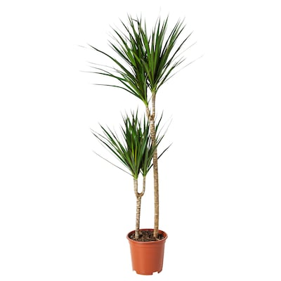 DRACAENA MARGINATA Planta, Dragoeiro/2-troncos, 19 cm
