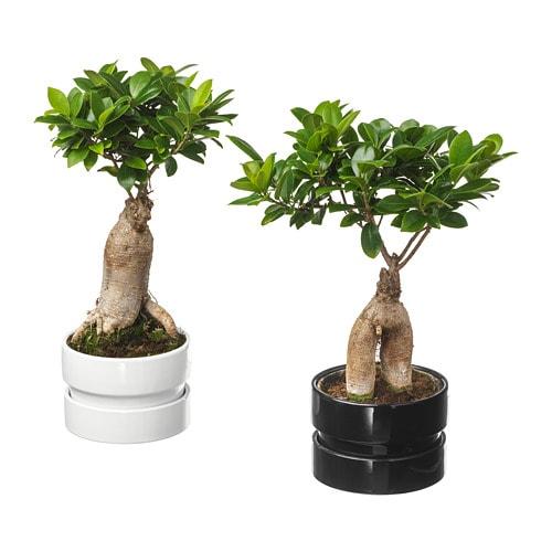 ficus microcarpa ginseng planta em vaso ikea. Black Bedroom Furniture Sets. Home Design Ideas