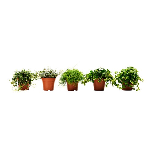 Himalayamix planta ikea - Plantas interior ikea ...