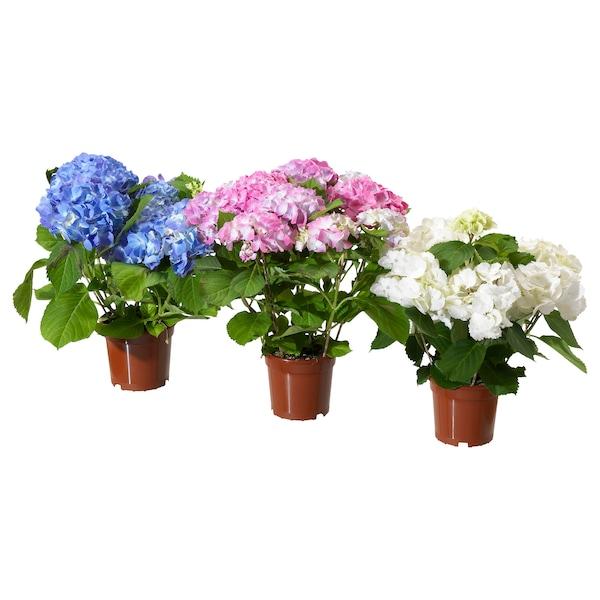 HYDRANGEA Planta, hortênsia cores variadas, 15 cm