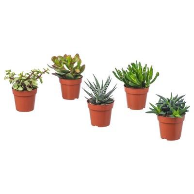 SUCCULENT Planta, mistura de espécies, 9 cm