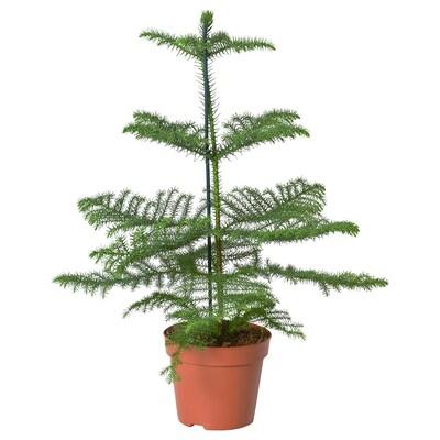 ARAUCARIA Plantă naturală, Pin de Norfolk (Araucaria), 17 cm