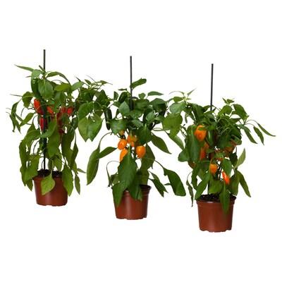 CAPSICUM ANNUUM Plantă în ghiveci, ardei dulce asortate, 14 cm