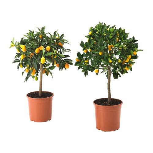 Citrus floare ghiveci ikea for Fausse plante ikea
