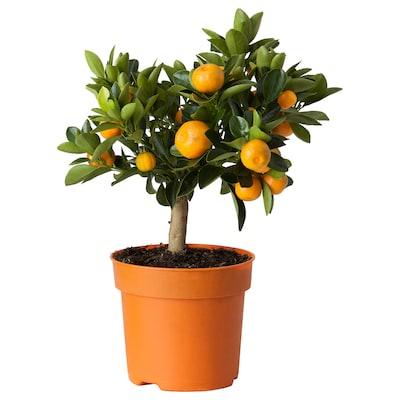 CITRUS Plantă în ghiveci, Calamondin, 15 cm