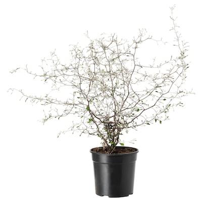 COROKIA Plantă naturală, 13 cm
