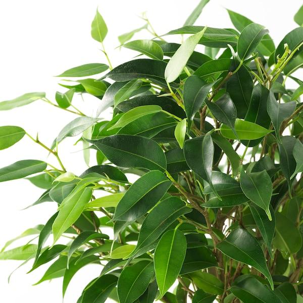 FICUS BENJAMINA 'NATASJA' Plantă naturală, Ficus Benjamina Natasja, 12 cm