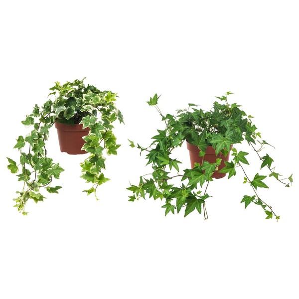 HEDERA HELIX Plantă naturală, Iedera(Hedera Helix), 13 cm