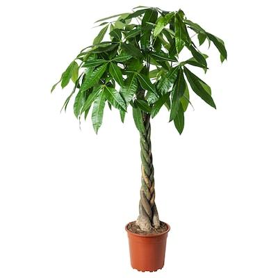 PACHIRA AQUATICA Plantă naturală, Arborele norocos(Pachira Aquatica), 27 cm