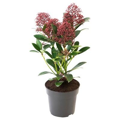 SKIMMIA JAPONICA RUBELLA Plantă naturală, 13 cm