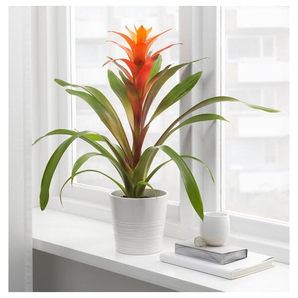 BROMELIACEAE Zasađena biljka, bromelija/raznovrsno, 12 cm