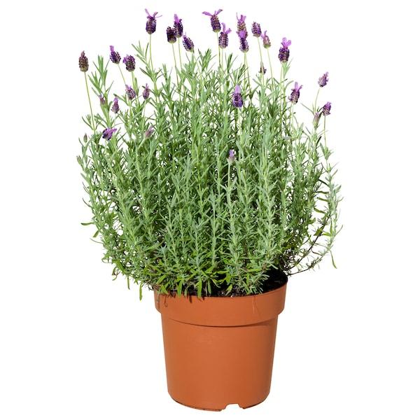 LAVANDULA Zasađena biljka, lavanda, 19 cm