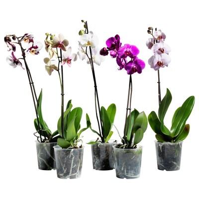 PHALAENOPSIS Zasađena biljka, orhideja/1-stabljika, 12 cm