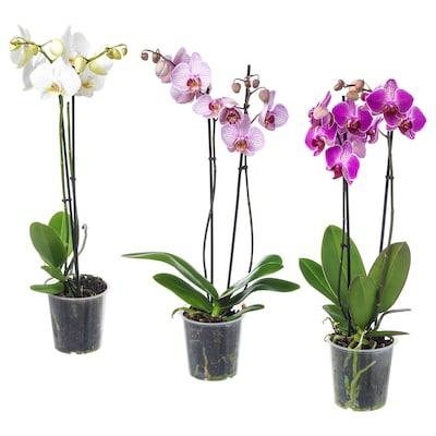 PHALAENOPSIS Zasađena biljka, orhideja/2 stabljike, 12 cm