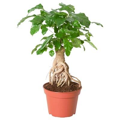 RADERMACHERA Zasađena biljka, smaragdno drvo, 15 cm