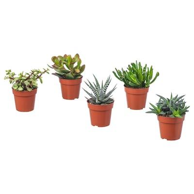 SUCCULENT Zasađena biljka, raznovrsno, 9 cm