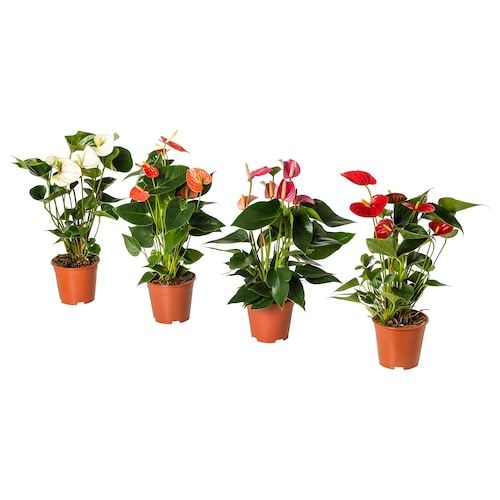 ANTHURIUM زرع في وعاء طائر النحام (نبات) 12 سم 40 سم