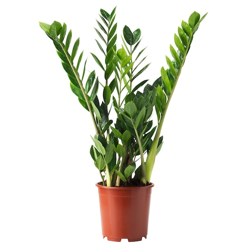 ZAMIOCULCAS زرع في وعاء أرويد بالم 17 سم 55 سم