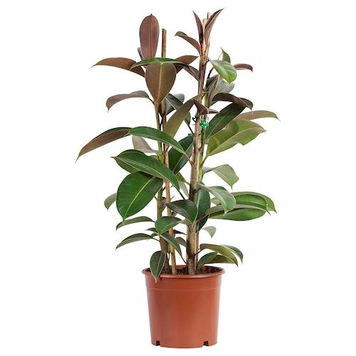 FICUS ELASTICA potted plant Rubber plant assorted 19 cm 90 cm
