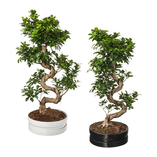 Ficus Microcarpa Ginseng Potted Plant With Pot