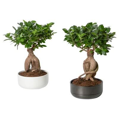 FICUS Potted plant with pot, bonsai/assorted colours, 22 cm