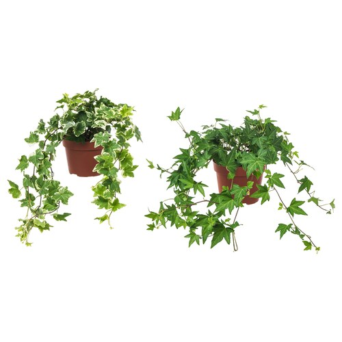 HEDERA HELIX potted plant Ivy 13 cm 35 cm