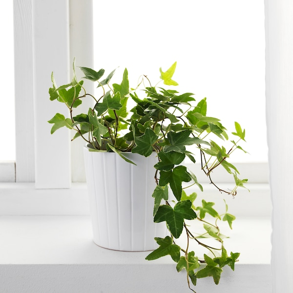HEDERA HELIX Potted plant, Ivy, 13 cm