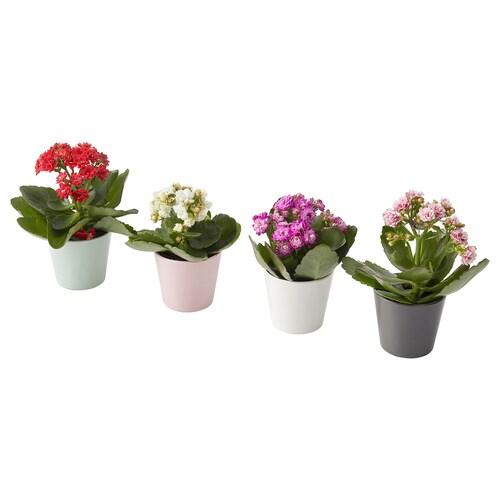 KALANCHOE potted plant with pot Kalanchoe assorted colours 6 cm 11 cm