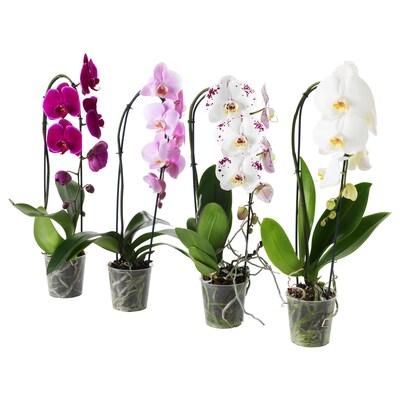 PHALAENOPSIS Potted plant, Orchid/cascade 1 stem, 12 cm