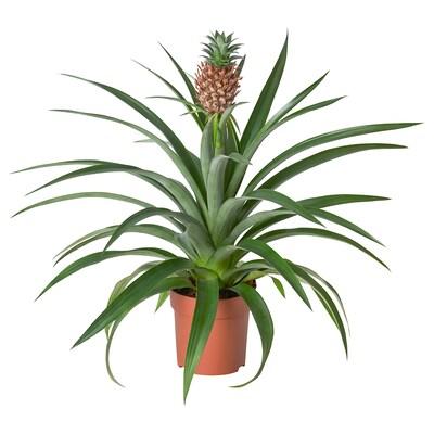 ANANAS Krukväxt, Ananas, 12 cm