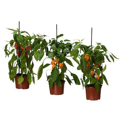 CAPSICUM ANNUUM Krukväxt, paprika olika arter, 14 cm