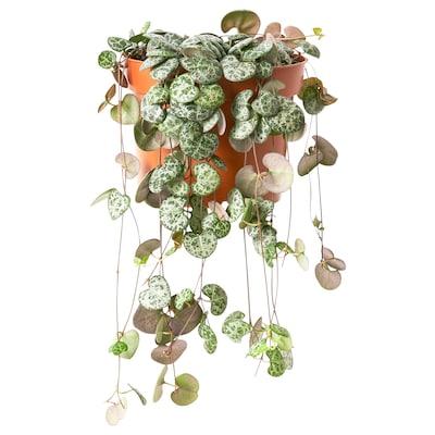 CEROPEGIA WOODII Krukväxt, Hjärtan på tråd, 12 cm
