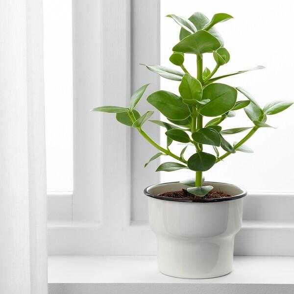 CITRONSYRA kruka inom-/utomhus/vit 12 cm 14 cm 12 cm 13 cm