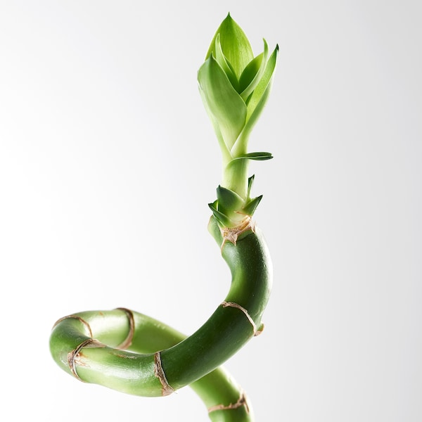 DRACAENA växt Lucky bamboo/spiralformad 45 cm