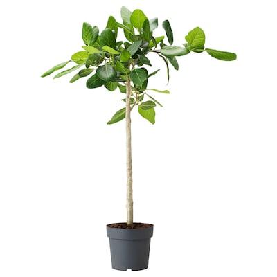 FICUS BENGHALENSIS Krukväxt, banianträd, 24 cm