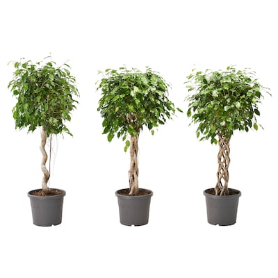 FICUS BENJAMINA Krukväxt, Grönbladig Benjamin fikus/olika arter, 32 cm