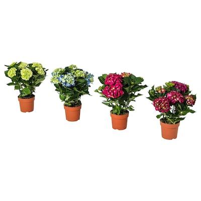 HYDRANGEA Krukväxt, Hortensia blandade färger, 15 cm