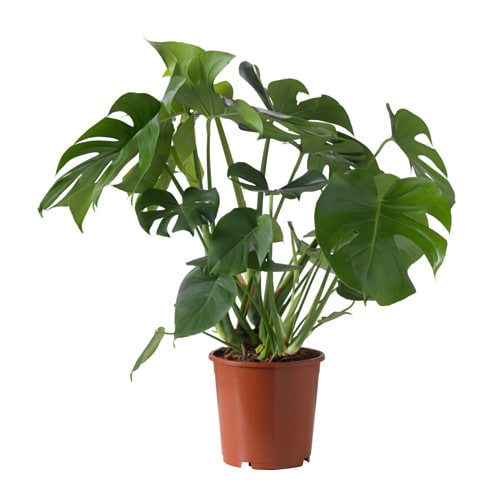 Image gallery monstera for Plante monstera