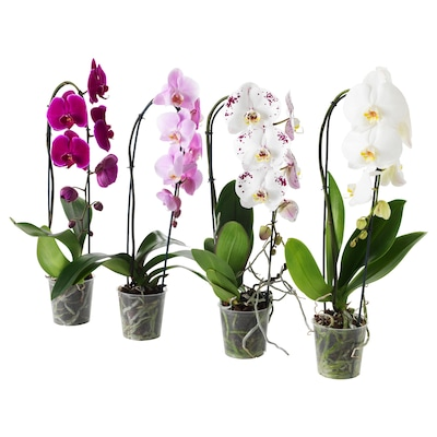 PHALAENOPSIS Krukväxt, Orkidé/kaskad 1 stängel, 12 cm