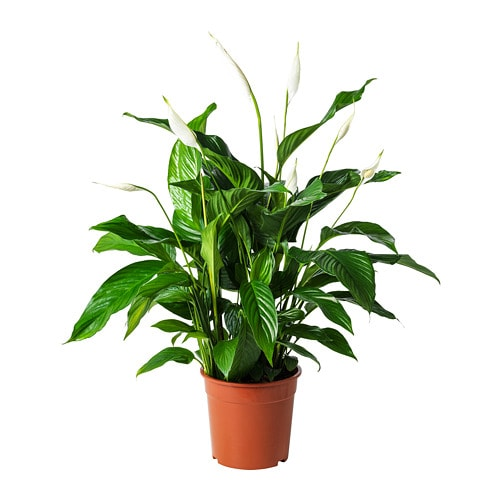 Fresh Indoor Plants Decoration Ideas For Interior Home: SPATHIPHYLLUM Krukväxt