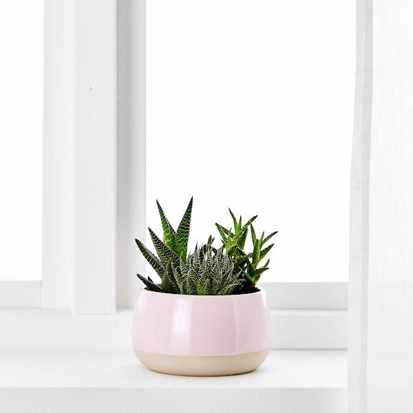 SUCCULENT krukväxt med kruka rosa 12 cm 7 cm