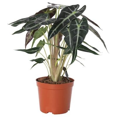ALOCASIA AMAZONICA Potted plant, Alocasia, 10.5 cm