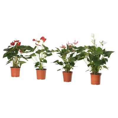 ANTHURIUM Potted plant, Flamingo plant/assorted, 15 cm