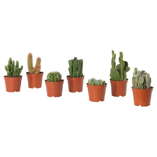 Cactaceae Plante en pot Cactus